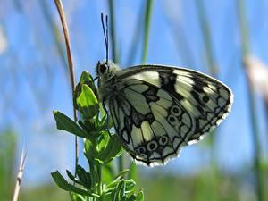 Bilder Nahaufnahme Schmetterlinge Insekten Unscharfer Hintergrund Melanargia russiae Tiere