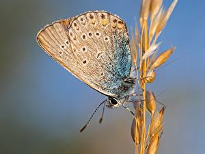 Bureaubladachtergronden Close-up Vlinders Insecten Bokeh Korenaren Polyommatus Icarus, Common blue, Female Dieren