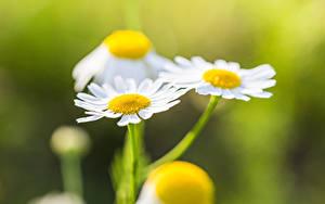 Bilder Hautnah Kamillen Unscharfer Hintergrund Blüte