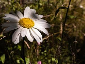 Bilder Großansicht Kamillen Bokeh Blumen