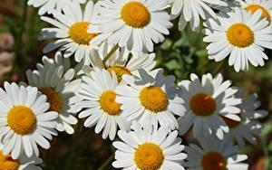 Fotos Hautnah Kamillen Weiß Blüte