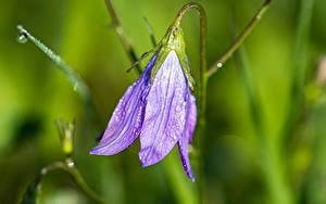 Fotos Großansicht Glockenblumen Unscharfer Hintergrund Violett Tropfen Blüte