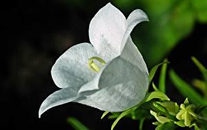 Fotos Hautnah Glockenblumen Weiß Blüte