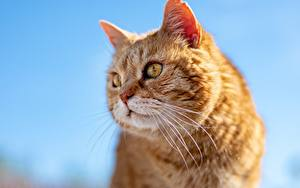 Fotos Nahaufnahme Katze Kopf Blick Schnurrhaare Vibrisse Ingwer farbe ein Tier