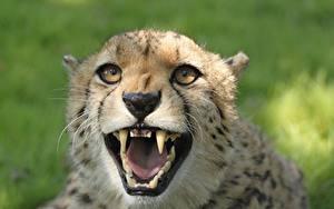 Hintergrundbilder Großansicht Gepard Eckzahn Starren Grinsen Kopf ein Tier