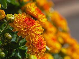 Fotos Großansicht Chrysanthemen Unscharfer Hintergrund Blütenknospe Gelb Blumen