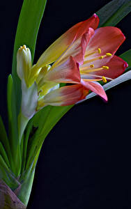 Picture Closeup Black background Clivia Flowers