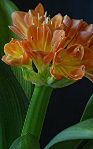 Tapety na pulpit Zbliżenie Na czarnym tle Pomarańczowy Clivia kwiat
