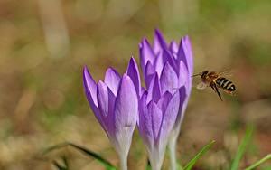 Hintergrundbilder Nahaufnahme Krokusse Bienen Bokeh ein Tier