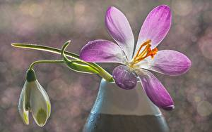 Bilder Großansicht Krokusse Unscharfer Hintergrund Tropfen Blüte