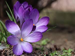 Bilder Großansicht Krokusse Unscharfer Hintergrund Violett Blüte