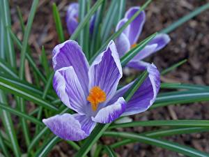 Bureaubladachtergronden Van dichtbij Krokus Onscherpe achtergrond Violet Bloemen