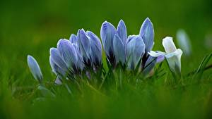Bilder Hautnah Krokusse Gras Unscharfer Hintergrund Blüte