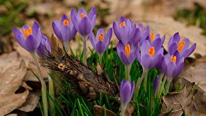 Fotos Hautnah Krokusse Violett Blüte