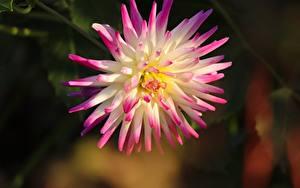 Bilder Großansicht Dahlien Unscharfer Hintergrund Rosa Farbe Blüte