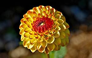 Tapety na pulpit Z bliska Dalia Rozmazane tło Żółty kwiat