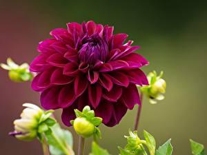 Fotos Hautnah Georginen Dunkelrote Blüte