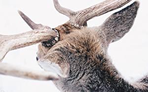 Bureaubladachtergronden Close-up Een hert Hoorns Dieren