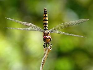 Hintergrundbilder Großansicht Libellen Insekten Unscharfer Hintergrund Tiere