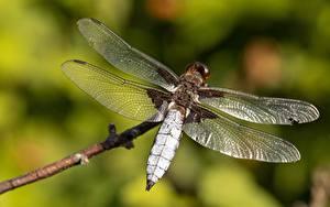 桌面壁纸,,特寫,蜻蜓,昆虫,散景,翅膀,動物
