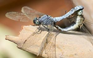 Bakgrundsbilder på skrivbordet Närbild Trollslända Insekter Två 2 Djur