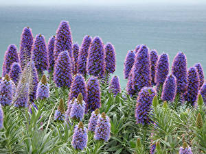 Bureaubladachtergronden Close-up Violet Echiums Bloemen