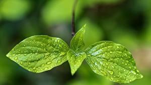 Bilder Großansicht Blatt Tropfen Grün Natur