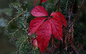 Hintergrundbilder Hautnah Blatt Rot