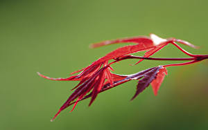 Wallpapers Closeup Foliage Red Bokeh Maple Nature