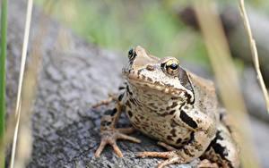 Hintergrundbilder Hautnah Frosche Bokeh ein Tier