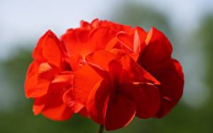 Picture Closeup Geranium Red Bokeh flower