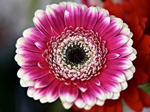Hintergrundbilder Hautnah Gerbera Unscharfer Hintergrund Blüte