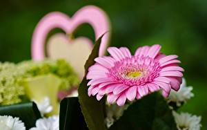 Fotos Hautnah Gerbera Bokeh Rosa Farbe Blumen
