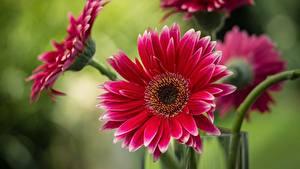 Fotos Großansicht Gerbera Rot Blumen