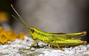 Bakgrundsbilder på skrivbordet Närbild Gräshoppor Insekter Suddig bakgrund Grön Djur