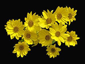 Fotos Großansicht Schwarzer Hintergrund Gelb Heliopsis Blumen