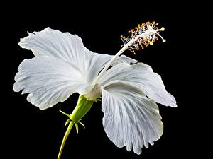 Desktop hintergrundbilder Hautnah Hibiskus Schwarzer Hintergrund Weiß Blumen