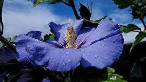 Bilder Großansicht Eibisch Tropfen Blau Hibiscus Syriacus Blumen