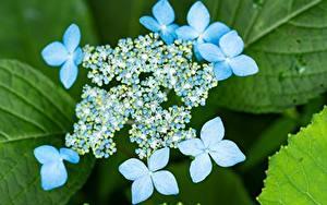 Tapety na pulpit Zbliżenie Hortensja Rozmazane tło Jasnoniebieski kwiat
