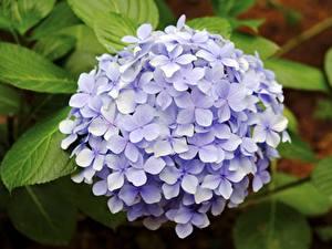 Bakgrundsbilder på skrivbordet Närbild Hortensia Violett Blommor