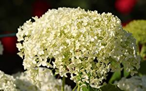 Fondos de escritorio De cerca Hydrangea Blanco Flores