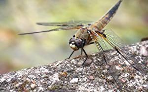 Fotos Hautnah Insekten Libellen Bokeh Tiere