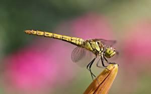 Fotos Hautnah Insekten Libellen Unscharfer Hintergrund Seitlich Tiere