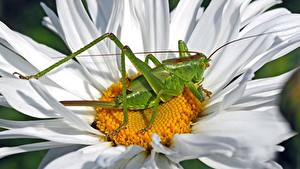 Bureaubladachtergronden Van dichtbij Insecten Sprinkhanen Kamille Groen kleur Tettigonia Viridissima female Bloemen