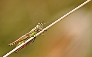 Hintergrundbilder Hautnah Insekten Heuschrecken Unscharfer Hintergrund Desert locust ein Tier