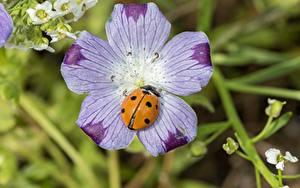 Hintergrundbilder Hautnah Insekten Marienkäfer Bokeh Blumen