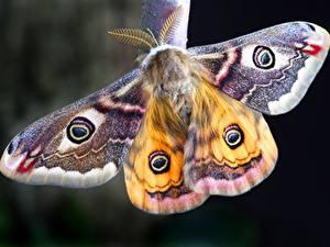 Hintergrundbilder Großansicht Insekten Moth, Lepidoptera Tiere