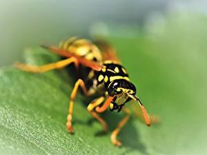 Bilder Großansicht Insekten Wespen Unscharfer Hintergrund ein Tier
