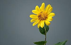 Tapety na pulpit Z bliska Na szarym tle Żółty Jerusalem artichoke Kwiaty