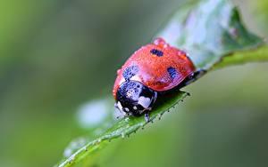 Bilder Großansicht Marienkäfer Insekten Unscharfer Hintergrund Tropfen ein Tier